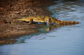 Krokodil kommt aus dem Wasser in einer Krokodilfarm in Namibia