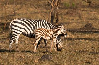 Zebras im Lake Mburo Nationalpark in Uganda