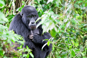 Gorilla im Bwind Nationalpark in Uganda