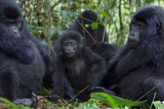 Berggorilla Familie an den Virunga Bergen in Ruanda