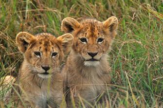 Safari im Ngorongoro Krater in Tansania