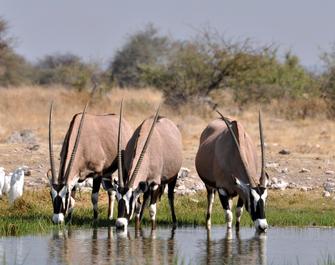 Oryx Antilopen, Namibia<br>