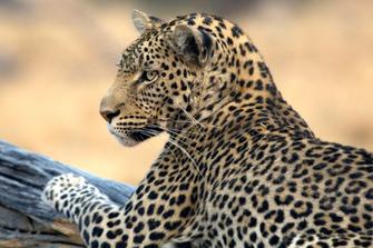Leopard im Chobe Nationalpark in Botswana
