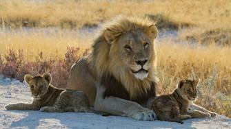 Löwe mit Löwenbabys im Etosha Nationalpark in Namibia