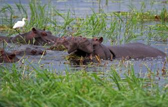 Flusspferde im Kwando in Botswana