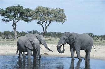 Elefanten im Chobe Nationalpark in Botswana