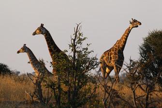 Giraffen imMapungubwe-Nationalpark in Südafrika
