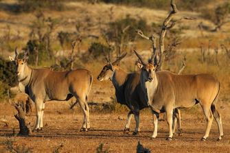 Steinböcke im Mapesu Nature Reserve in Südafrika