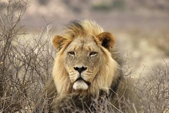 Löwe im Krüger Nationalpark in Südafrika