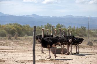 Strauße auf einer Straußen-Farm in Oudtshoorn in Südafrika