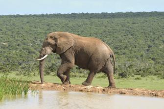 Elefant im Addo-Elephant-Nationalpark in Südafrika