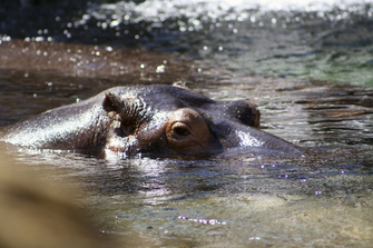 Flusspferd imiSimangaliso-Wetland-Park in St. Lucia in Südafrika