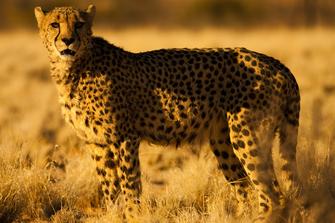 Gepard, Etosha Namibia Safari<br>