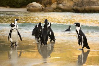 Pinguine an der Küste von Südafrika