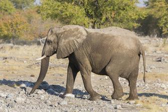 Elefant im Etosha Nationalpark in Namibia