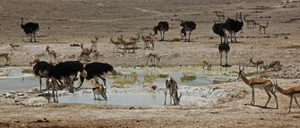 Springböcke und Strauße an einem Wasserloch im Natur Reservat der Onjala Lodge in Namibia