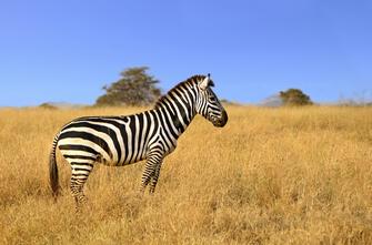 Zebra bei Tansania Reise im Serengeti Nationalpark