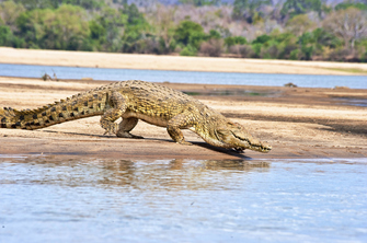 Krokodil bei einer Bootsafari auf dem Rufiji River in Tansania