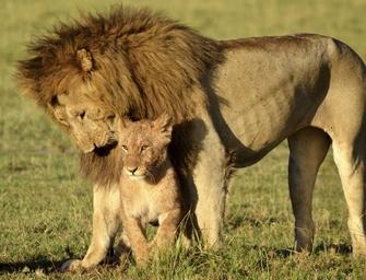 männlicher Löwe mit Löwenbaby im Selous Game Reserve in Tansania