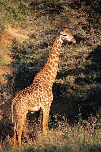 Giraffe während einer Safari im Ruaha Nationalpark in Tansania
