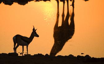 Namibia Gruppenreise - Namibia geführte Reise - Springbock am Wasserloch - Etosha National Park