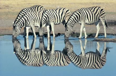 Namibia Gefuehrte Reise - Namibia Mietwagenrundreise - Trinkende Zebras - Etosha Nationalpark - Namibia