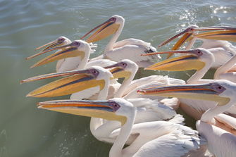 Namibia gefuehrte Reise - Namibia Familienurlaub - Pelikane- Swakopmund - Namibia