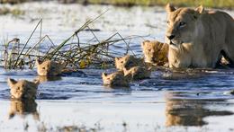 Loewenfamilie im Delta - Okavango Delta - Botswana