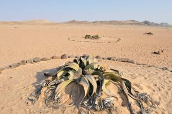 Namibia gefuehrte Reise - Namibia Abenteuerreise - Namibia Erlebnisreise - Welwitschia Mirabilis - Namib