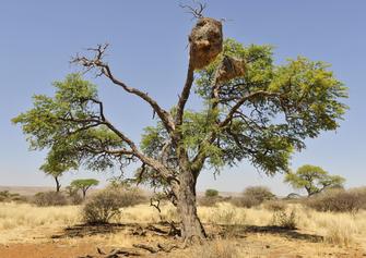 Namibia Gruppenreise - Rundreise durchs Südliche Afrika - Baum - Südnamibia-