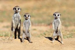 Baby Erdmännchen - Namibia