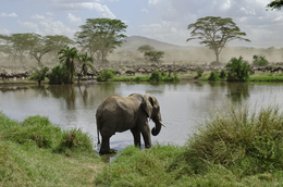 Elefant am Wasserloch - Serengeti National park - Tansania
