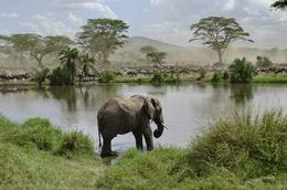 Elefant am Wasserloch - Serengeti National park - Tansania