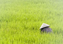 Arbeiter im Reisfeld - Zentra-Vietnam - Vietnam