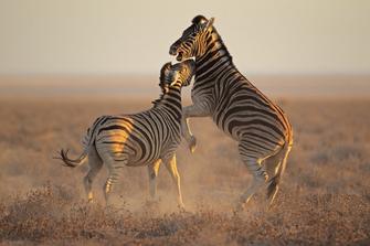 Kaempfende Zebras - Etosha National Park - Namibia