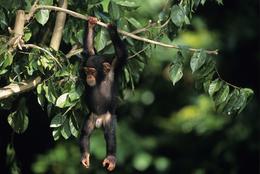 junger Schimpanse - Queen Elizabeth National Park - Uganda