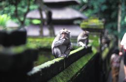 Affe auf Mauer - Monkey Forest - Bali Indonesien