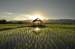 Reisfeld im Sonnenuntergang - Laos