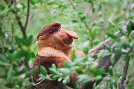 Abenteuerreise Borneo - Erlebnisreise in Malaysia auf Borneo - Unberührter Dschungel, fremde ...