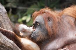 Orang Utans - Mulu National Park - Borneo Malaysia