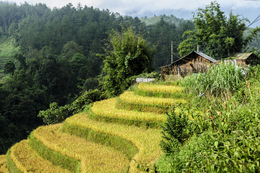 Reisterrasse - Sapa - Vietnam