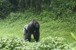 Rundreise Uganda -Silberruecken - Gorilla Tracking - Uganda