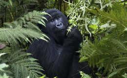 Gorilla - Uganda Reisen